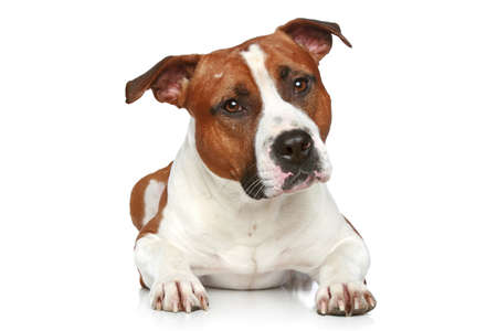 amstaff: Staffordshire terrier lying on a white background Stock Photo