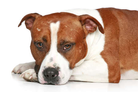 american staffordshire terrier: Sad Staffordshire terrier lying on a white background. Close-up portrait