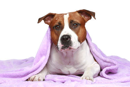 amstaff: Staffordshire terrier, lying under soft blanket on a white background Stock Photo