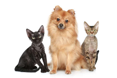 devon: German Spitz dog with Devon Rex cats on a white background
