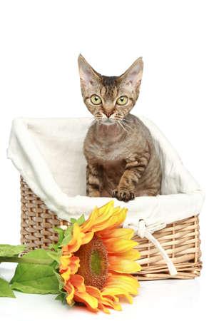 wattled: Devon Rex cat in wattled basket on a white background