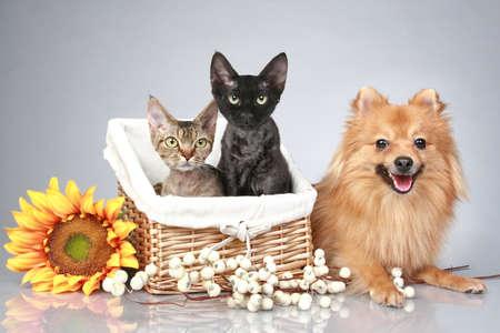 perros vestidos: Perro Spitz alemán con gatos Devon Rex en un fondo gris