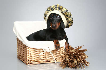 Mini dachshund in cap, portrait on a white background photo