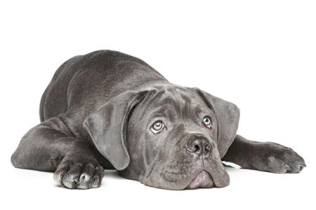 cane corso: Cane Corso puppy lying on a white background Stock Photo
