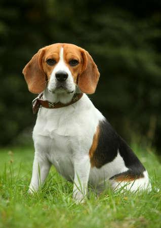 Beagle puppy sitting on grass photo
