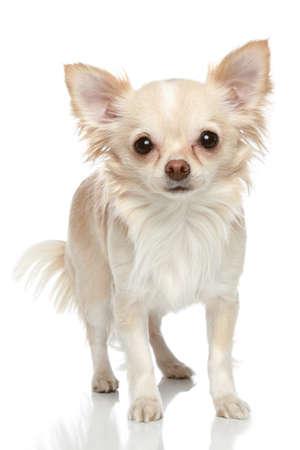 chiwawa: Long coat chihuahua puppy on a white background Stock Photo