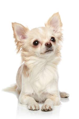 chiwawa: Long coat chihuahua puppy lies on a white background