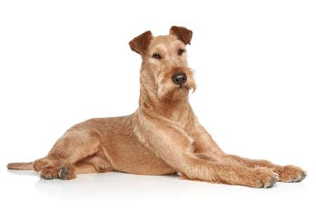hunter playful: Irish terrier lying on a white background Stock Photo