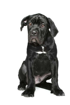 cane corso: Cane corso puppy sits on a white background