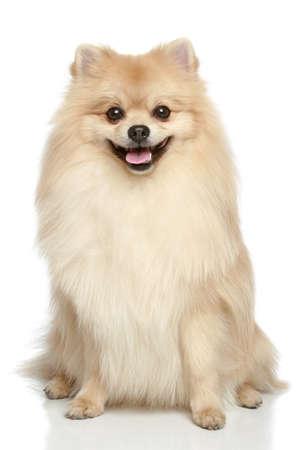 Pommerschen Spitz Hund sitzt auf einem weißen Hintergrund