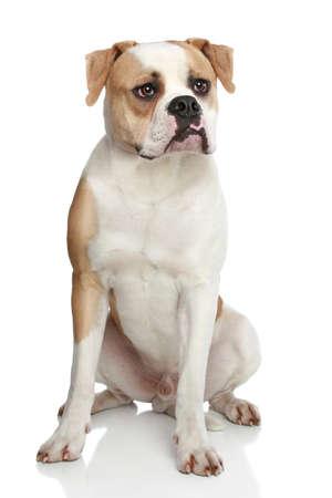 wrinkely: American bulldog sitting on a white background