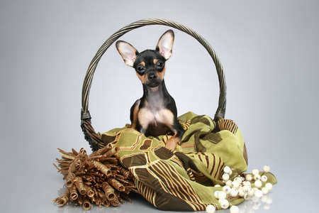 toyterrier: Russian toy-terrier puppy in basket on a grey background Stock Photo