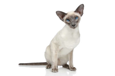 blue siamese: Oriental Blue-point siamese cat sitting on a white background