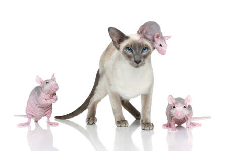 Blue-point oriental cat with three rats on a white background photo