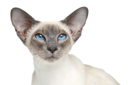 oriental white cat: Oriental Blue-point siamese cat. Close-up portrait on a white background