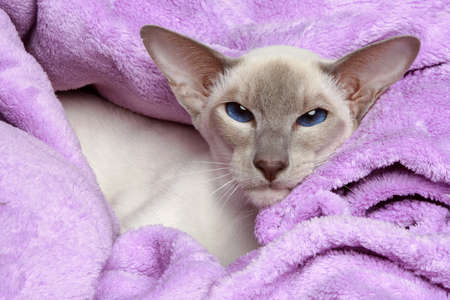 Oriental Lilac-point siamese cat resting in a soft blanket photo