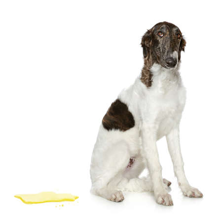 Guilty dog. Russian Borzoi puppy (5 months) on a white background photo