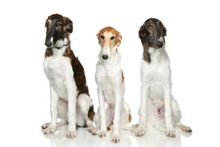 hunter playful: Russian Borzoi puppies (5 months) sits on white background