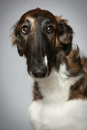 hunter playful: Russian Borzoi puppy (5 months) Close-up portrait on gray background