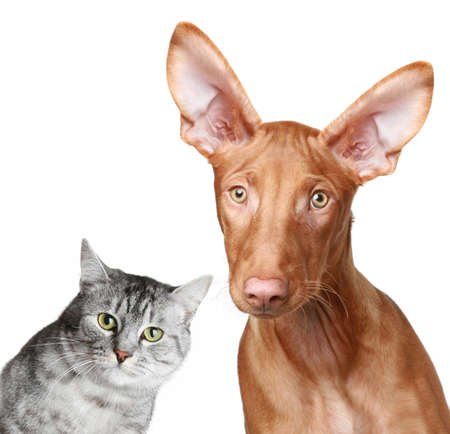 Cat and Pharaoh hound togetherness on white background photo