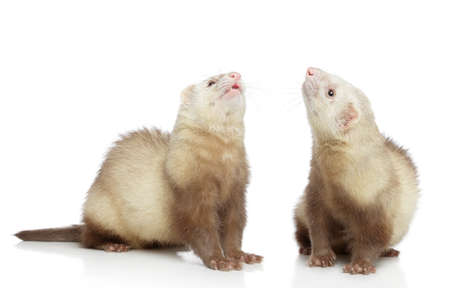 hunter playful: Two ferrets look up, on a white background Stock Photo