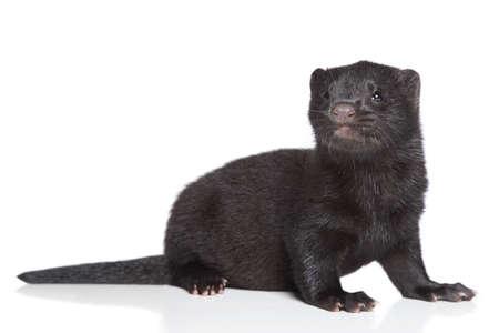 mink: Visone americano 1 mese cucciolo nero su sfondo bianco Archivio Fotografico