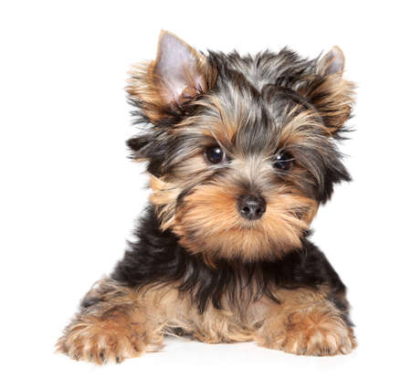 yorky: Yorkshire terrier puppy  Close-up portrait on white background Stock Photo