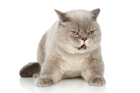 dissatisfied: Dissatisfied British cat on lying a white background