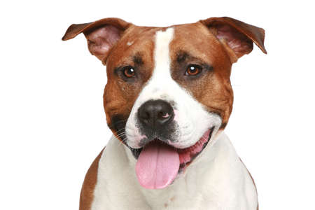 amstaff: Staffordshire terrier  Close-up portrait on a white background