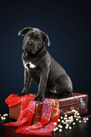 Cane corso puppy sitting on suitcase on a dark-blue background photo