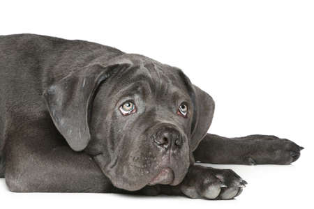 cane corso: Cane corso dog puppy lying on a white background Stock Photo