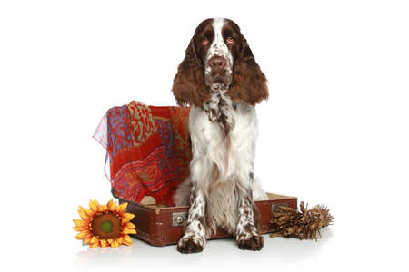 springer: English Springer Spaniel with old suitcase on a white background Stock Photo