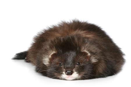 hunter playful: Ferret lying on a white background