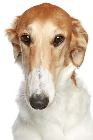 Russian Borzoi dog. Head profile close-up portrait on a white background  photo