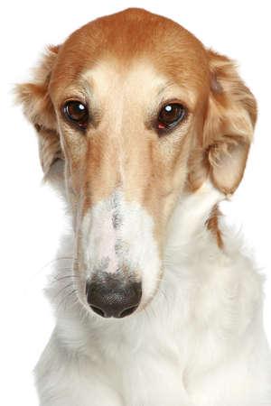 hunter playful: Russian Borzoi dog. Head profile close-up portrait on a white background