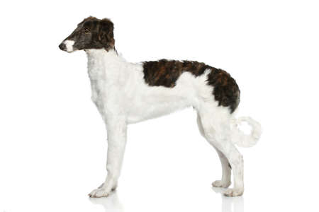 hunter playful: Russian Borzoi puppy (5 months) on a white background
