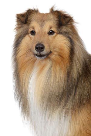 miniature collie: Shetland sheepdog, sheltie. Close-up portrait on a white background