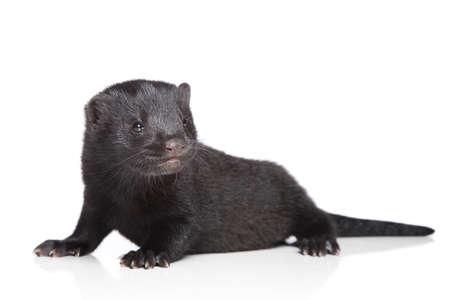 mink: Visone americano (1 mese). Cucciolo nero su uno sfondo bianco