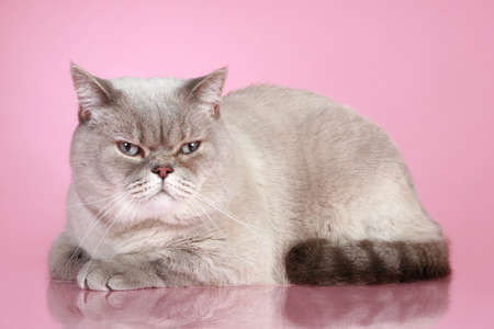 dissatisfied: Dissatisfied British cat on lying a pink background