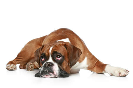 boxeador: Perro del boxeador triste, tumbada sobre un fondo blanco Foto de archivo
