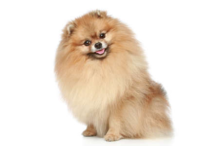 Pomeranian Spitz dog sitting on a white background photo