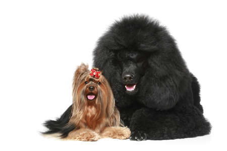 dog pose: Royal poodle and yorkshire terrier lying on a white background