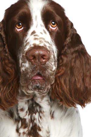 springer: English Springer Spaniel. Close-up portrait on a white background
