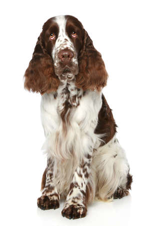 sits: Springer Spaniel sits on a white background Stock Photo