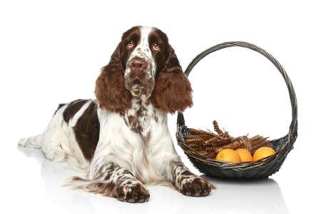 springer: Springer Spaniel lies with basket of fruit on a white background