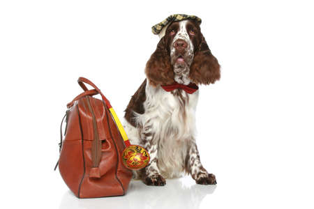 hunter playful: English Springer Spaniel sits with road bag on a white background