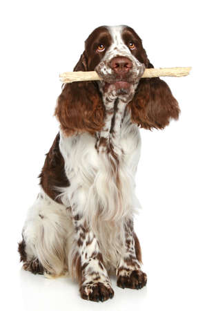 springer: English Springer Spaniel playing with a stick on a white background