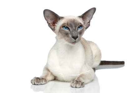Oriental Blue-point siamese cat posing on a white background photo