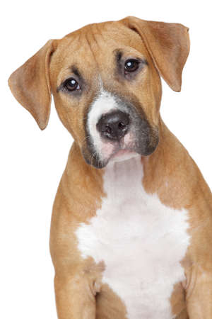 amstaff: American staffordshire terrier puppy portrait on a white background