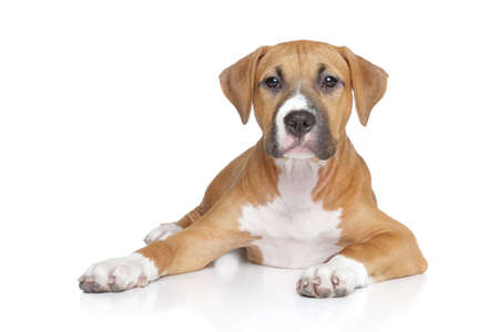 bull terrier: American staffordshire puppy lying on white background